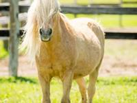TRIGGER is a 32 year-old Shetland Pony. Surrendered to