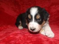 Trina $300 Female Australian Shepherd /Border Collie