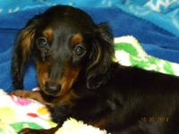 TRINITY is a longhair black & tan miniature dachshund