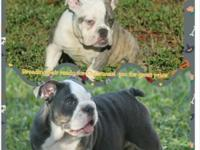 This is a breeding pair of rare color English bulldogs
