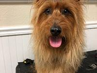 Tripp's story Tripp is a registered Australian Terrier.