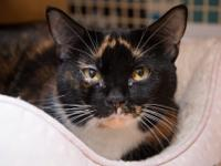 Trixie is a beautiful calico girl. She often hisses at