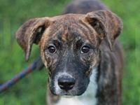 Trixie - MEET ME @ PETCO 8/18's story This puppy is in