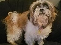 Trixie's story Trixie is a super sweet little shih tzu