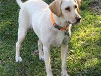 Trixie is a beautiful 1 year old female Yellow Labrador