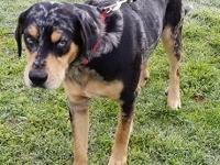 Hi my name is Trooper! I am a sweet male Catahoula. I