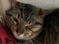 Trooper is a handsome Tabby cat who is looking for a