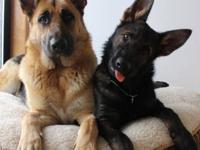 www.tropischgermanshepherds.com TRAINED DOGS