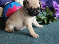 trtr Champion pug puppies for sale for more pics and