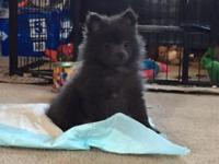 Extremely rare little Pomeranian girl for sale. I was