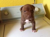 True Blue nose pitbulls. Only 3 left. Good bloodline,