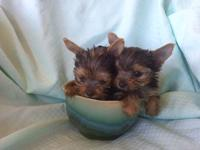 Absolutely adorable 2 AKC Yorkie female pups left, one