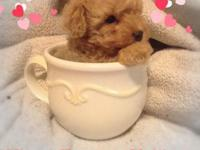 Teacup Maltipoo puppies Stunning. Beautiful Color
