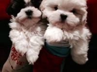 Super sweet, friendly Teddy Bear young puppies. We have