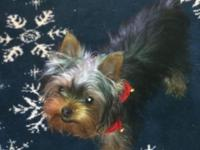 These pups are true small yorkies, only weighed 23/4