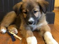 My name is Truffle, an 8 week old, female, Australian