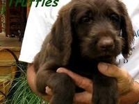 Truffles is an adorable chocolate labradoodle girl. She