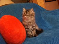 EXTREMELY STUNNING CFA PERSIAN KITTEN FOR SALE. WE