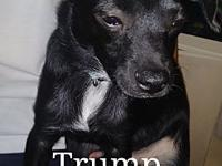 Trump's story Trump is just 5 months old , chiweenie..
