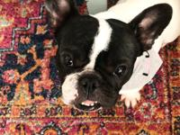 Tiny Tryhanna is a gorgeous little French Bulldog who