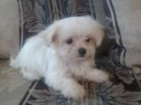 tsskdyud gorgeous Maltese male and female puppies