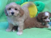 Mini Ttoodle puppies $400.00 Dad toy poodle and mom