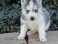 TTTHHG Males and Females Siberian husky pups for sale.