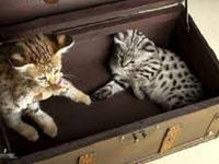 ththth Lovely Savannah Kittens XXX. Kindly Get back to