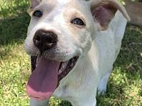Tuck's story Tuck is a gorgeous 4 1/2 month old lab mix
