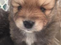 Gorgeous Purebred Pomeranian Puppy. Tucker will come