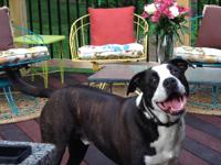 Tucker is a 6 year old American Bull Terrier and Boxer