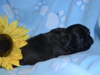 Meet Tucker an adorable male Shihtzu puppy. Shihtzu's