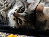 TUCKER - Spicy Male Tabby | Maine Coon Mix's story With