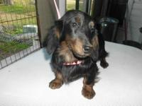 """Tude"" is an adorable miniature longhair black & tan"