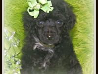 Tuff is a cute little black poodle boy with white