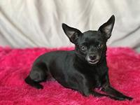 Tulip's story Tulip is an adult female chihuahua that