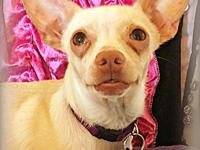 Tullio's story TULLIO Tullio is a loving Chihuahua mix