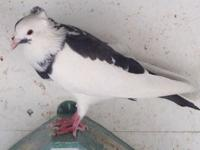 Selling varies pigeons 10 birds for $80 or 20 for $140.