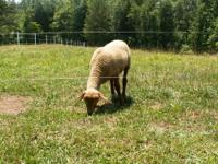 We have a wonderful 4.5 month old Tunis Ram Lamb out of
