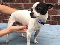 Tupac's story Tupac is a male chihuahua mix and