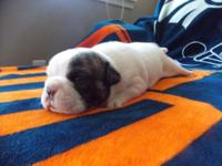 Turbo is a white male with one dark eye English bulldog