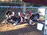 turkeys $3 lb.dressed for Thanksgiving order now or $25