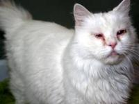 Turkish Angora - Casper - Medium - Adult - Male - Cat