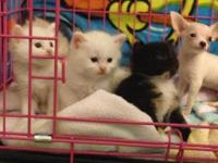I have 4 Turkish Angora Kittens that are ready for