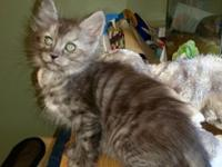 Grimoire Turkish Angoras has a wonderful silver tabby