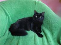 Turkish Angora - Nathan - Medium - Young - Male - Cat