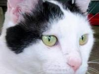 Turkish Van - Antonio - Large - Young - Male - Cat He