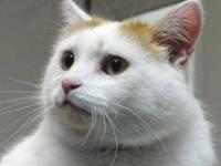 Turkish Van - Kintaro - Medium - Adult - Male - Cat