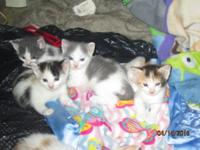 3 Turkish Van Kittens available. Both Male and Females.