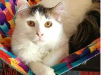 Turkish Van - Lola - Large - Adult - Female - Cat LOLA